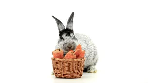 gray rabbit eats carrots