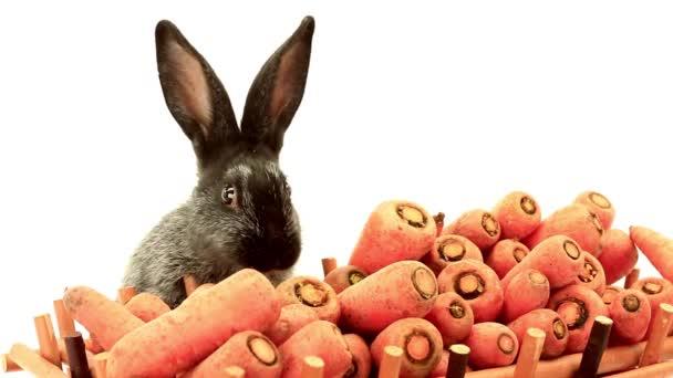 králík jí mrkev