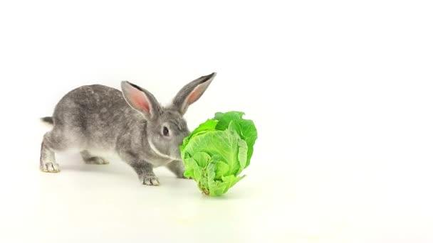 králík jí zelí