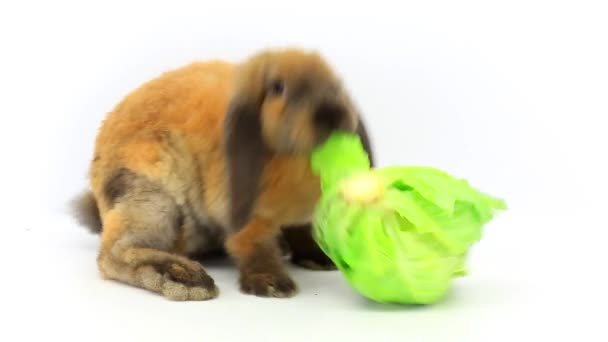 rabbit eats cabbage