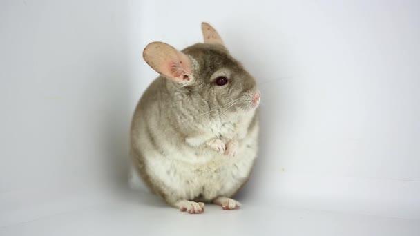 graue Chinchilla auf weiß