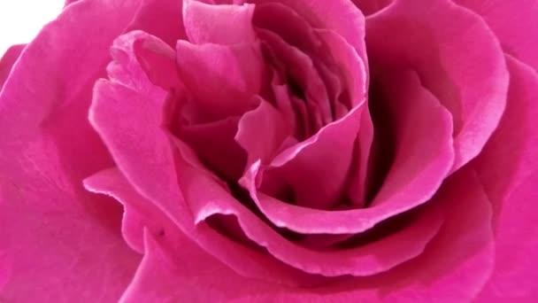 pink rose flower close-up