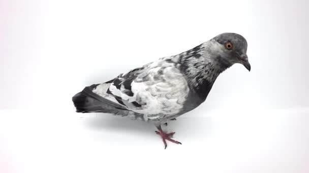grey pigeon isolated on white