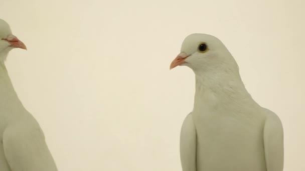 white pigeons on white