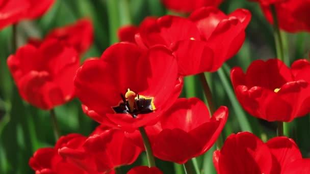 Közeli kép: piros tulipán