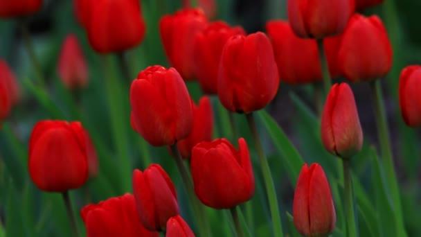 Červené tulipány na přírodu