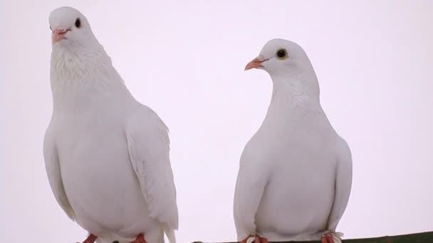 white pigeons on branch