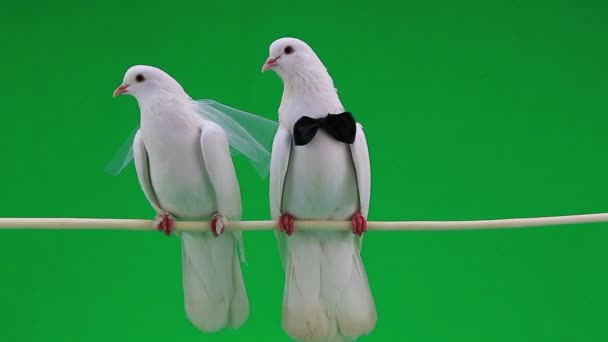 wedding pigeons with bowtie   and veil