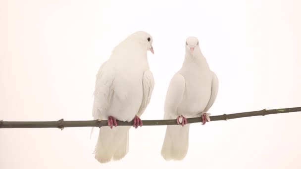 két fehér galambot