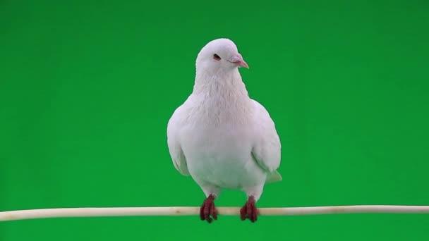 schöne weiße Taube