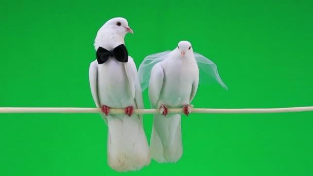 Svatební holuby s motýlek a závoj