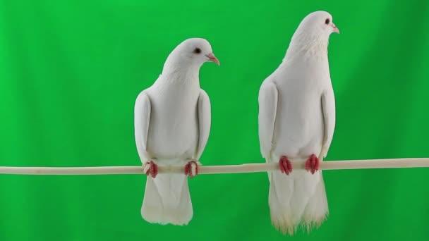 dva holubi na větvi