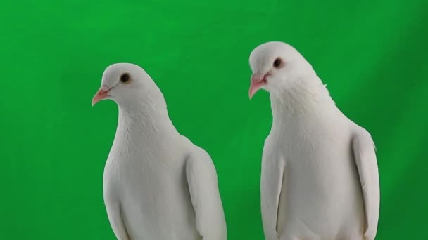 two pigeons on green