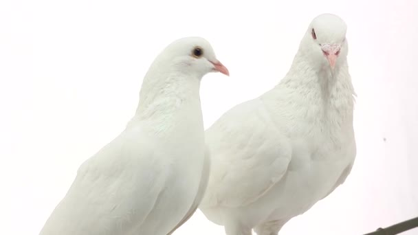 two white   pigeons