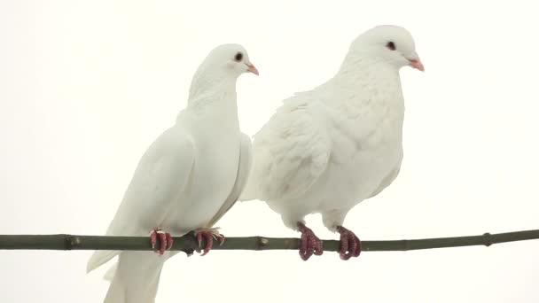 dvě bílé holuby