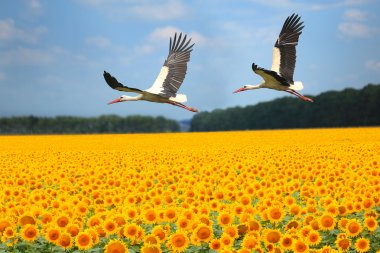 two storks fly