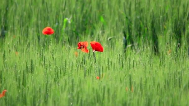 kvetoucí pole.