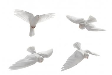 White pigeons in flight