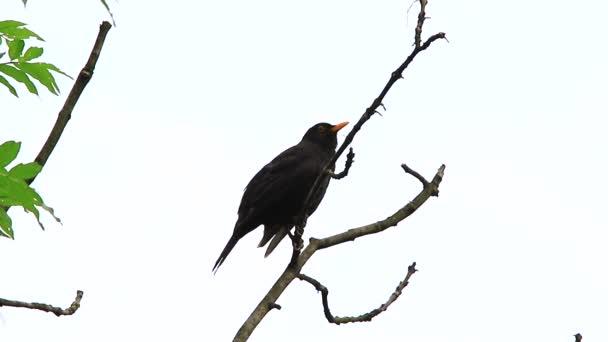 Kos zpívá na stromě