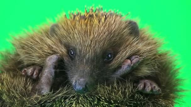 Cute prickly hedgehog  portrait