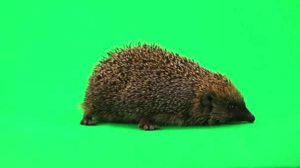 Cute prickly hedgehog