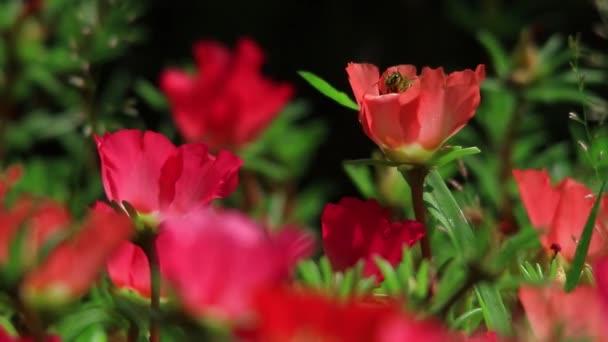 červené zahradní květiny