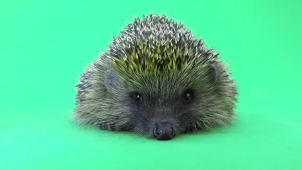 cute hedgehog close up