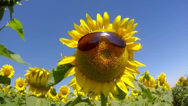 Slunečnice na sobě brýle