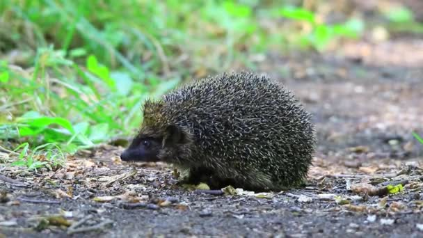 hedgehog close up on the nature