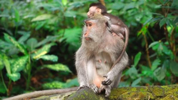 Monkey forest v Bali. Full Hd Video