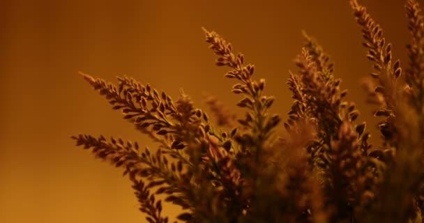 Beautiful lavender flowers in sunset light. 4K Video