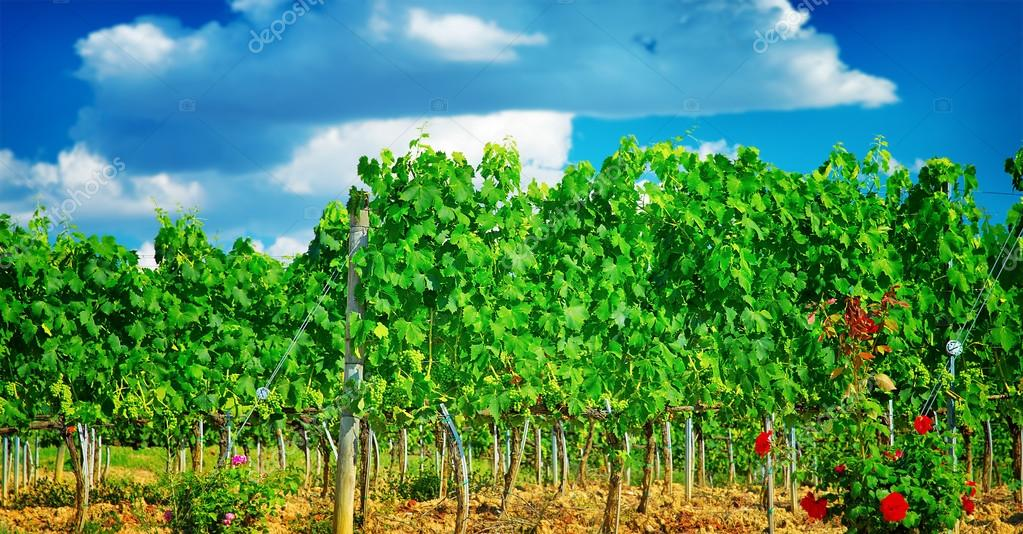 Beautiful vineyard in Europe