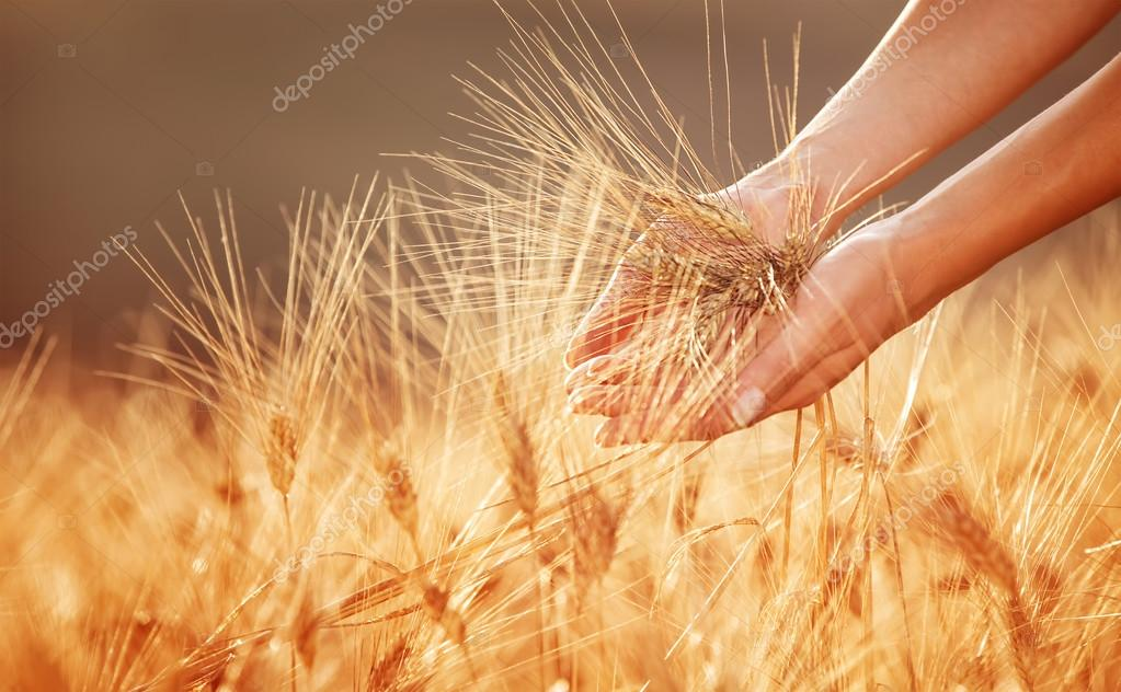 Woman hands touching golden wheat field