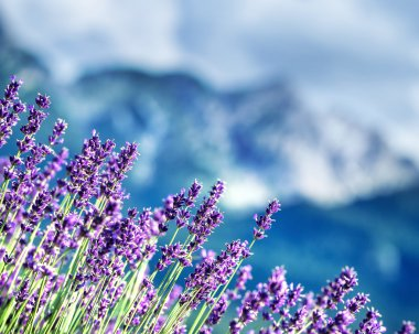 Lavender fields beneath French Alps