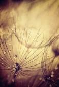 Fotografie Pampeliška květin pozadí