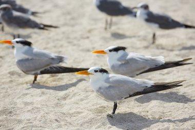 Royal Caspian terns sea birds in Miami Florida
