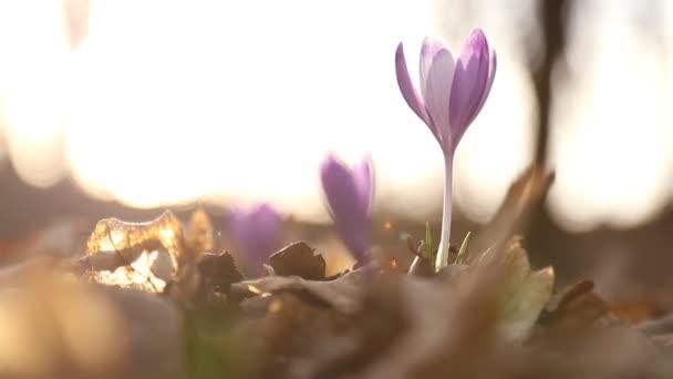 Lila květy sněženek