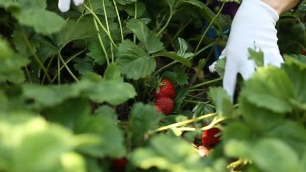 closeup sběr jahod