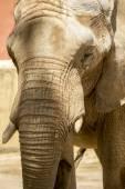 Az állatkert afrikai elefánt