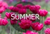 Krásné, rozkvétají růžové tulipány