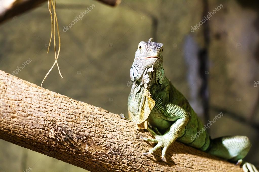 Colorful Iguana on branch