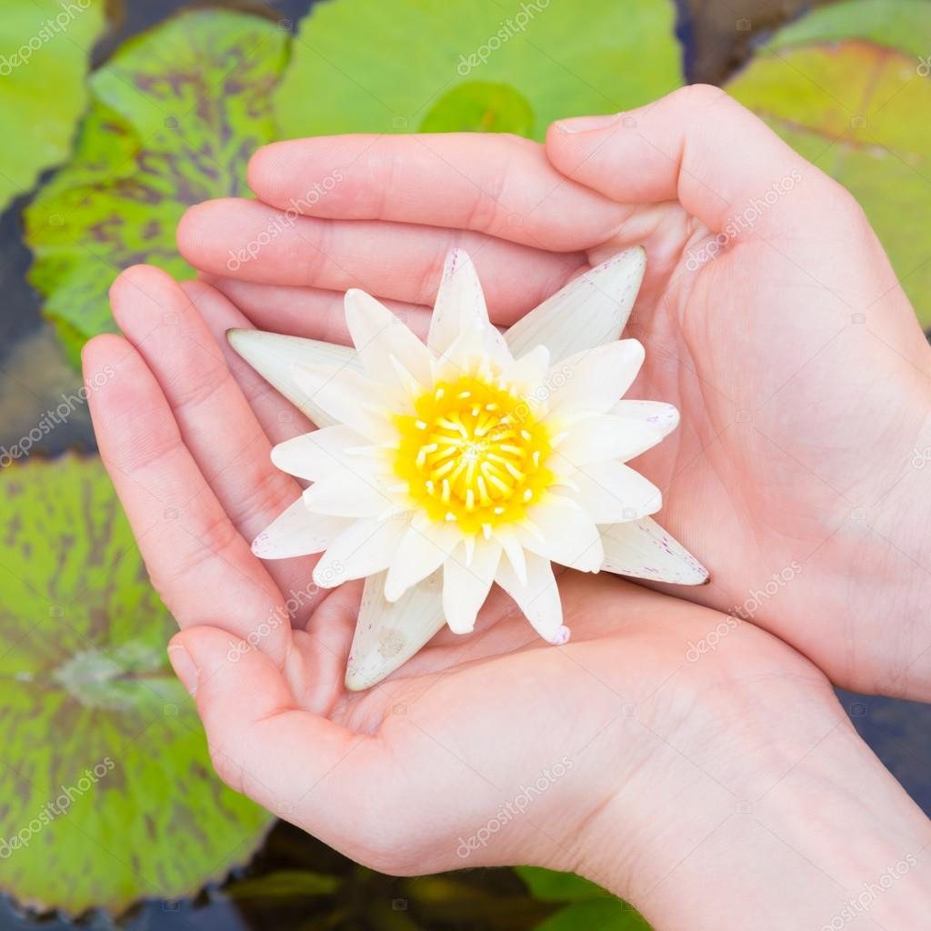 Woman Hands Holding Lotus Flower Stock Photo Kasto 62826351