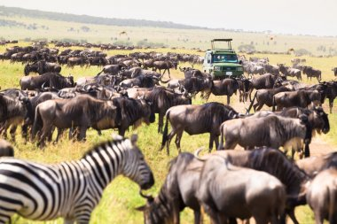 Jeeps on african wildlife safari.