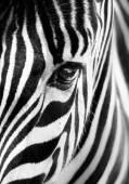 Portréja egy zebra. Fekete-fehér
