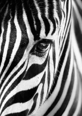 Portrait of a zebra. Black and white.