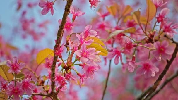 Třešňová větev s růžovými květy v jarním květu. Krásná větev stromu s třešňovými květy