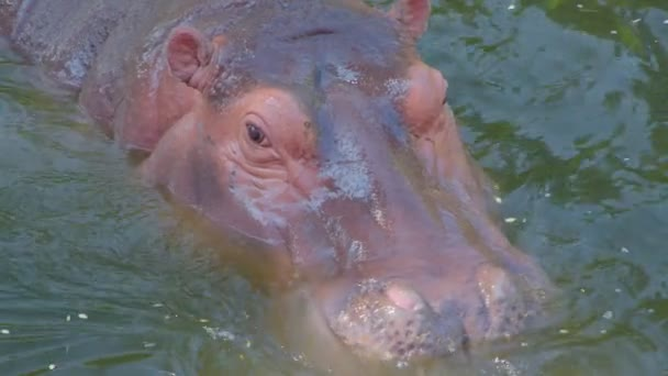Ein Nilpferd frisst im Wasser