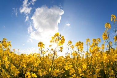rapeseed oil flowers and sunbeams over blue sky