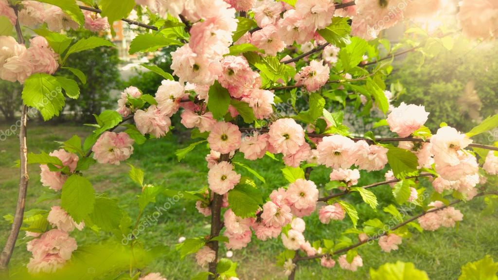 Toned photo of beautiful pink blossoms on trees at sunny day