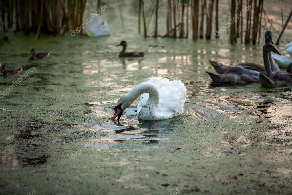 beautiful white swan swimming with cygnets